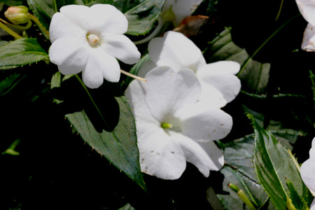 적합: 봉선화는 풍경과 용기에 적합 hybrida Sunpatiens 컴팩트 화이트, 소형 습관과 아름 다운 흰 꽃 품종을 X 스톡 콘텐츠