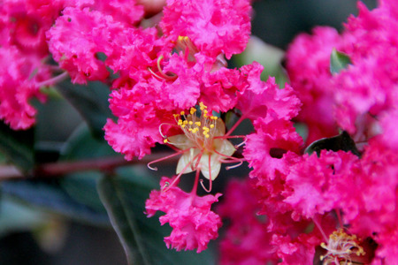 Lagerstroemia indica, Crepe myrtle, Crepeflower, wide spreading deciduous tree with oval leaves and flowers in panicles with crimpled petals in variety of colors