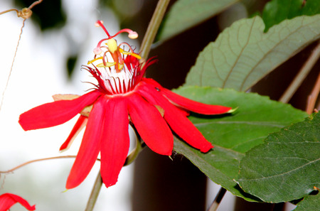 lobed: Passiflora coccinea, Scarlet passion flower, vine with scarcely lobed leaves, beautiful dark red flowers and small edible red fruits
