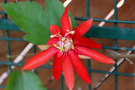 edible leaves: Passiflora coccinea, Scarlet passion flower, vine with scarcely lobed leaves, beautiful dark red flowers and small edible red fruits