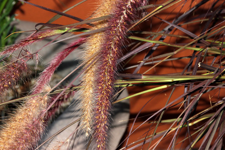 Pennisetum setaceum Rubrum, Purple Fountain Grass, tufted perennial grass with purple tinged leaves and compact terminal red spike