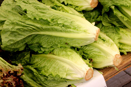 lactuca: Lactuca sativa var. longifolia, Romaine Lettuce , type with long stiff leaves forming a tall head wnd with prominent central rib, good for salads