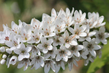 lance shaped: Lysimachia clethroides, Gooseneck loosestrife, ornamental perennial herb with alternate lance shaped leaves and small white flowers in terminal bent spike Stock Photo