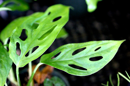 habitats: Monstera obliqua, Swiss cheese plant, house plant suited for partly shaded habitats with entire pointed leaves with big oval to lanceolate big holes in the blade