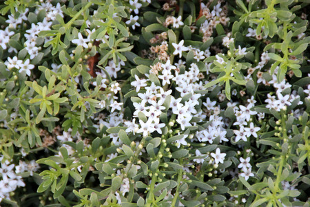 fleshy: Myoporum parvifolium, Creeping boobialla, Creeping myoporum, mat forming plant with fleshy egg shaped leaves and star shaped white flower, good ground cover