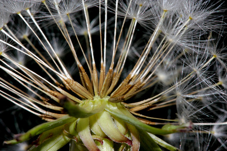 Dandelion fruit head, Taraxacum officinale, each fruit with light brown body with few bristles, very long white neck and white parachute (pappus) ready to fly off Reklamní fotografie