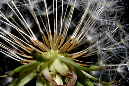 pappus: Dandelion fruit head, Taraxacum officinale, each fruit with light brown body with few bristles, very long white neck and white parachute (pappus) ready to fly off Stock Photo