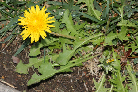 Dandelion plant in flower, Taraxacum officinale, herb with basal rosette of variously cut leaves and terminal yellow flower head on a long scape.