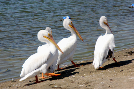 15 inch: American White Pelican, Pelecanus erythrorhynchos, a large aquatic bird with white feathers, black on underside visible only in flight, and up to 15 inch long yellow beak