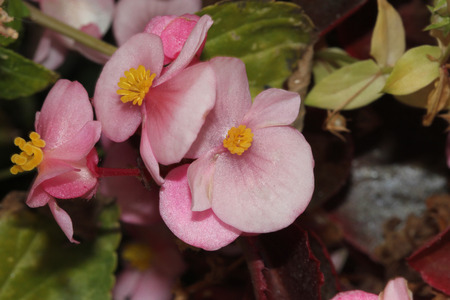 herbaceous: Begonia semperflorens Pink, Begonia, herbaceous perennial with thick nearly rounded leaves and flowers in various colors
