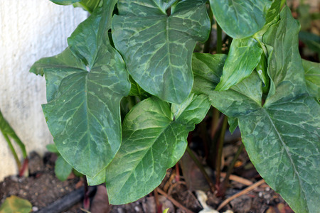 tuberous: Arum maculatum, snakeshead, Lords-and-ladies, tuberous perennial with arrow shaped spotted leaves and purple spadix enclosed by a pale green spathe