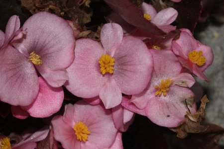 nearly: Begonia semperflorens Pink, Begonia, herbaceous perennial with thick nearly rounded leaves and flowers in various colors