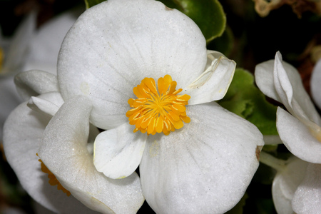 herbaceous: Begonia semperflorens White, Begonia, herbaceous perennial with thick nearly rounded leaves and white dlowers with yellow anthers