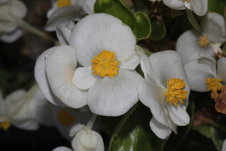 anthers: Begonia semperflorens White, Begonia, herbaceous perennial with thick nearly rounded leaves and white dlowers with yellow anthers