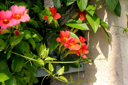leaflets: Amphilophium buccinatorium, Red Trumpet Vine, Mexican Blood Trumpet, evergreen woody vine with 2 oblong to ovate leaflets and orange red trumpet-shaped flowers in short clusters. Stock Photo