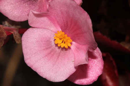 anthers: Begonia semperflorens Pink, Begonia, herbaceous perennial with thick nearly rounded leaves and pink dlowers with yellow anthers Stock Photo