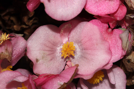 herbaceous: Begonia semperflorens Pink, Begonia, herbaceous perennial with thick nearly rounded leaves and pink dlowers with yellow anthers Stock Photo