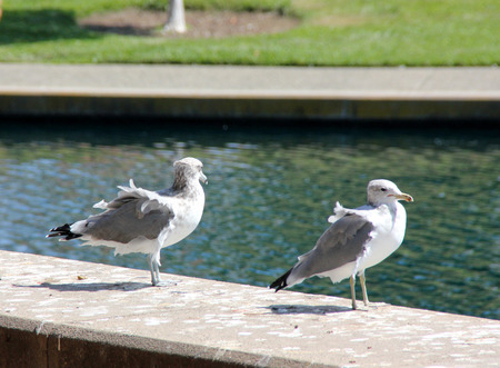 sized: California Gull along side a community Lake in California, Larus californicus, medium sized white gulls with grey back, black primaries with white tips and yellow beak with black ring. Stock Photo