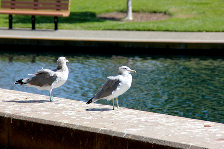 California Gull along side a community Lake in California, Larus californicus, medium sized white gulls with grey back, black primaries with white tips and yellow beak with black ring. Stock Photo