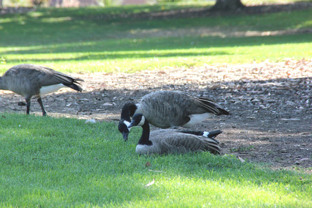 branta: Canada Goose on lawn along small community lake, Branta canadensis, large bird native of Canada and North America with black head and neck, white patches on face and brown body, common in lakes. Stock Photo