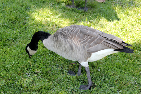 Canada Goose on lawn along small community lake, Branta canadensis, large bird native of Canada and North America with black head and neck, white patches on face and brown body, common in lakes. Stock Photo
