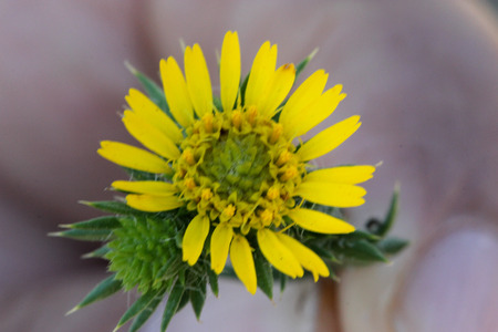 radiate: Centromadia pungens, Common spikeweed, Common tarweed, small tufted herb native of California with linear spiny leaves and small yellow radiate flower heads.