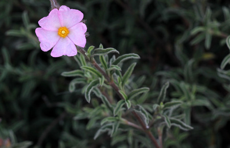 Cistus Argenteus Rosa De La Plata, La Jara, Arbusto Que Forma De ...
