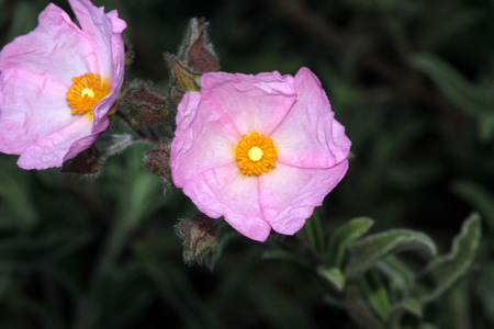 Cistus argenteus Silver Pink, Rock rose, compact mound-forming shrub with silvery foliage and soft pink flowers coming up in summer