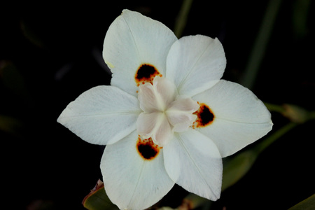 clump: Dietes bicolor, Butterfly flag, clump forming rhizomatous perennial with linear leaves and pale yellow flowers with three chocolate brown blotches