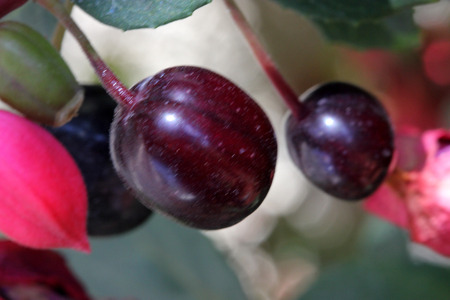 drooping: Berries Fuchsia hybrida Black Prince, compact shrub with green leaves and drooping beautiful flowers with red calyx and bluish purple corolla followed by purple berries. Stock Photo