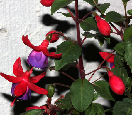 corolla: Berries Fuchsia hybrida Black Prince, compact shrub with green leaves and drooping beautiful flowers with red calyx and bluish purple corolla followed by purple berries. Stock Photo