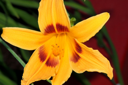 bonanza: Hemerocallis Bonanza, Bonanza Daylily, perennial tuft forming herb with linear leaves and canary-yellow flowers with deep red throats, all-time favorite bi-colored cultivar for perennial gardens Stock Photo
