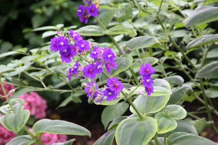 velvety: Tibouchina heteromalla, Silver leafed Princess Flower, evergreen shrub with velvety elliptic leaves and purple flowers. Stock Photo