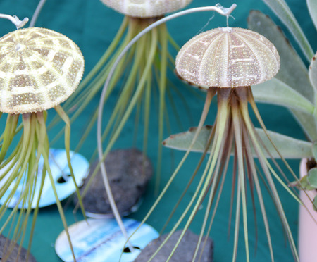 tillandsia: Air Plant Tillandsia and sea urchin combination, mimic jellyfish used as live decoration suspended from a fishing line