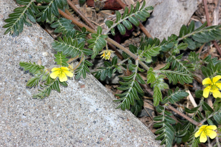 Tribulus terrestris, caltrop, puncture vine, prostrate herb with pinnate compound leaves, yellow flowers and hard fruit with four sharp spines Stock Photo