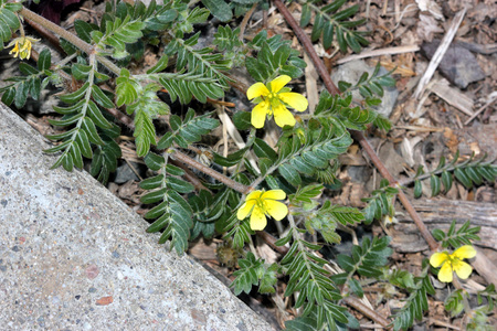 spines: Tribulus terrestris, caltrop, puncture vine, prostrate herb with pinnate compound leaves, yellow flowers and hard fruit with four sharp spines Stock Photo