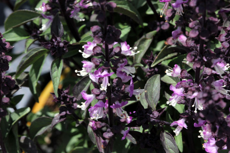 bracts: Thai Basil, Ocimum basilicum var. thyrsiflora, with dark green spear like leaves, purple stems and bracts and pink purple flowers Stock Photo