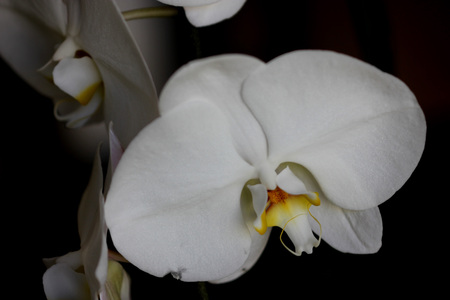 whiskers: Phalaenopsis Aphrodite orchid flower, popular ornamental orchid with several long lasting white flowers on long stalk with darkly marked yellow lip with whiskers Stock Photo