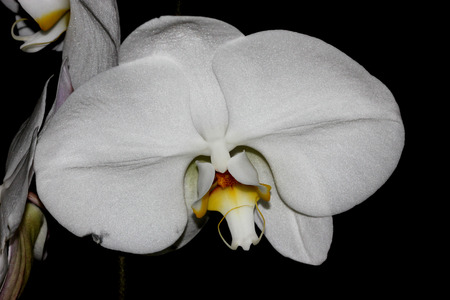 aphrodite: Phalaenopsis Aphrodite orchid flower, popular ornamental orchid with several long lasting white flowers on long stalk with darkly marked yellow lip with whiskers Stock Photo