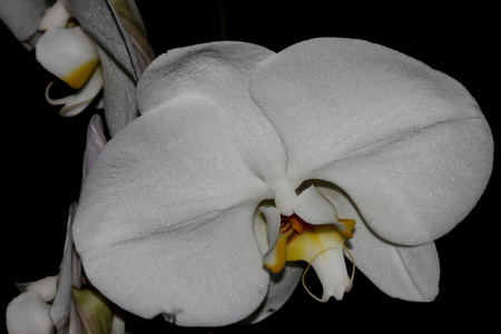 aphrodite: flor de la orquídea Phalaenopsis Afrodita, orquídea ornamental popular con varias flores blancas duraderos sobre el tallo largo con labio de color amarillo oscuro marcado con barbas Foto de archivo
