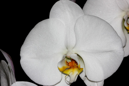 lasting: Phalaenopsis Aphrodite orchid flower, popular ornamental orchid with several long lasting white flowers on long stalk with darkly marked yellow lip with whiskers Stock Photo