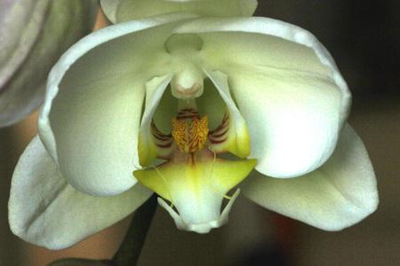 aphrodite: Phalaenopsis Afrodita porción que muestra el labio flor de la orquídea, orquídea ornamental popular con varias flores blancas duraderos sobre el tallo largo con oscuramente marcado de labios de color amarillo con las barbas
