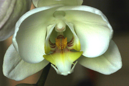 aphrodite: Phalaenopsis Aphrodite orchid flower showing lip portion, popular ornamental orchid with several long lasting white flowers on long stalk with darkly marked yellow lip with whiskers