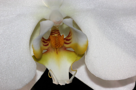 lasting: Phalaenopsis Aphrodite orchid flower showing lip portion, popular ornamental orchid with several long lasting white flowers on long stalk with darkly marked yellow lip with whiskers