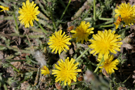syn: Helminthotheca echioides, bristly oxtongue , syn: Picris echioides, spreading herb with bristly leaves and yellow ligulate heads surrounded by 3-5 large ovate-cordate bristly bracts