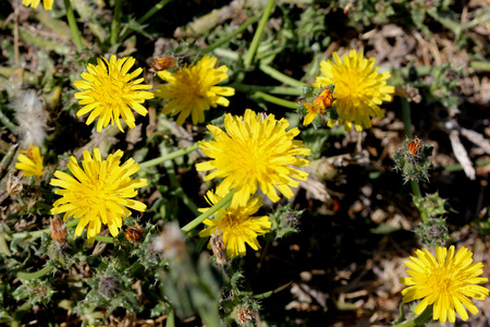 bracts large: Helminthotheca echioides, bristly oxtongue , syn: Picris echioides, spreading herb with bristly leaves and yellow ligulate heads surrounded by 3-5 large ovate-cordate bristly bracts