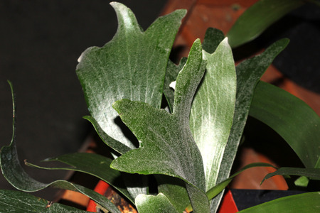 platycerium: Platycerium, bifurcatum, Staghorn fern, Elkhorn fern, epiphytic fern with bifurcate fronds, ornamented suited for sheltered locations.