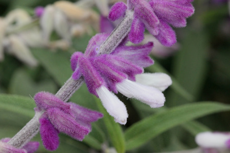 corolla: Salvia leucantha, Mexican Sage, small shrub with opposite linear leaves white beneath and purple woolly flowers in terminal clusters, with white corolla Stock Photo
