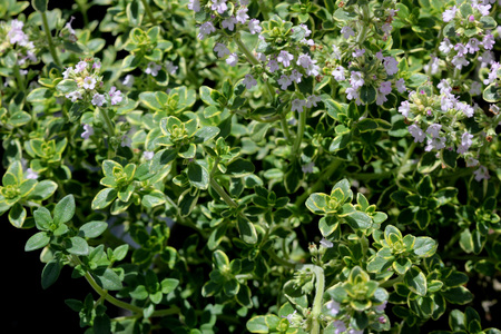 Thymus x citriodorus Aureus, Golden Lemon thyme, spreading shrublet with with golden variegated leaves with strong citrus flavor, ideal for chicken and fish dishes