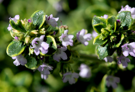 thymus: Thymus x citriodorus Aureus, Golden Lemon thyme, spreading shrublet with with golden variegated leaves with strong citrus flavor, ideal for chicken and fish dishes